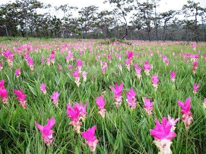ดอกกระเจียวบาน ณ อุทยานแห่งชาติไทรทอง