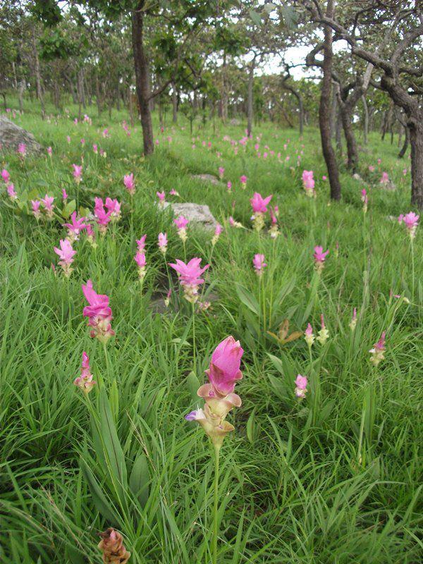 ดอกกระเจียวบาน เมื่อวันที่ 14 มิถุนายน 2555 ณ อุทยานแห่งชาติป่าหินงาม