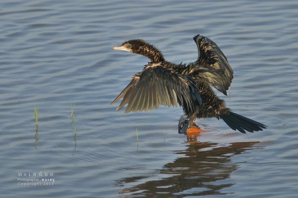 นกกาน้ำ