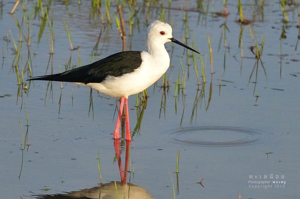นกตีนเที่ยน ขายาวแดง นางงามแห่งทะเลน้อย