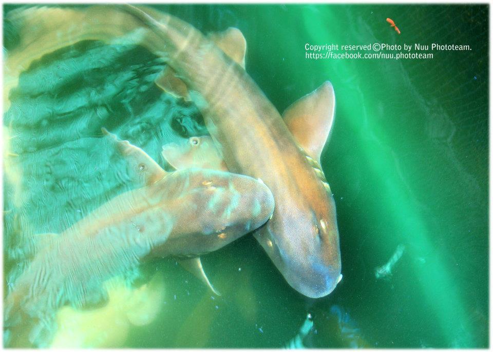 ปลาฉลามทรายที่เลี้ยงไว้ในกระชัง
