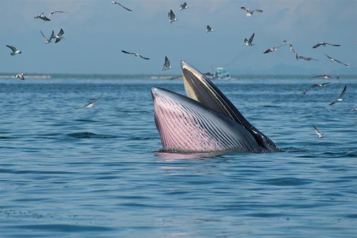 ล่องเรือชมวาฬบรูด้า ณ แหลมผักเบี้ย จังหวัดเพชรบุรี ช่วงเดือนกันยายนถึงเดือนธันวาคม
