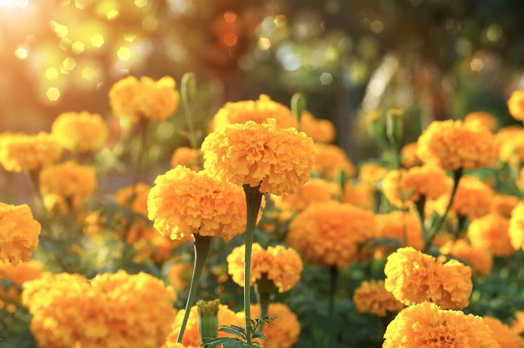 ชมดอกดาวเรืองเหลืองอร่าม ณ ทุ่งดาวเรืองภูเรือ จังหวัดเลย