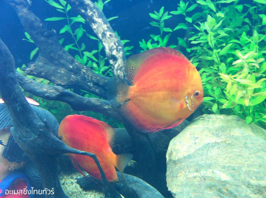 ปลาปอมปาดัวร์