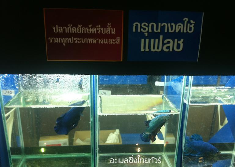 ปลากัดยักษ์ครีบสั้น