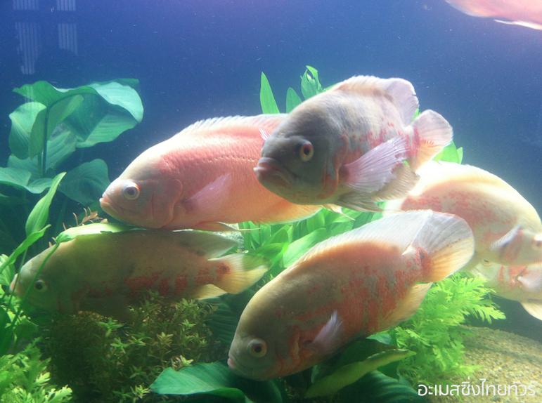 ปลาออสก้าหลากสี