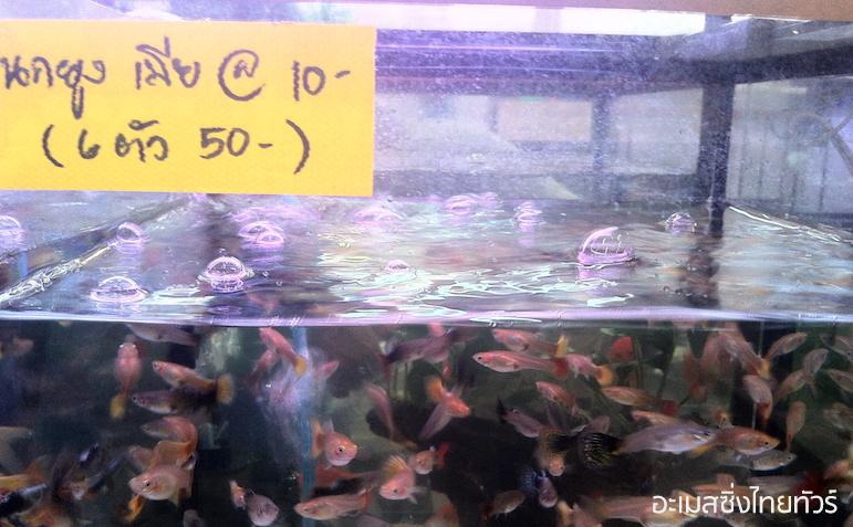 ปลาหางนกยูง