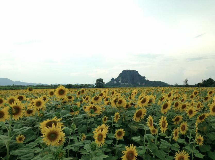 เทศกาลทุ่งทานตะวันบานลพบุรี 1 พฤศจิกายน 2556 - 31 มกราคม 2557