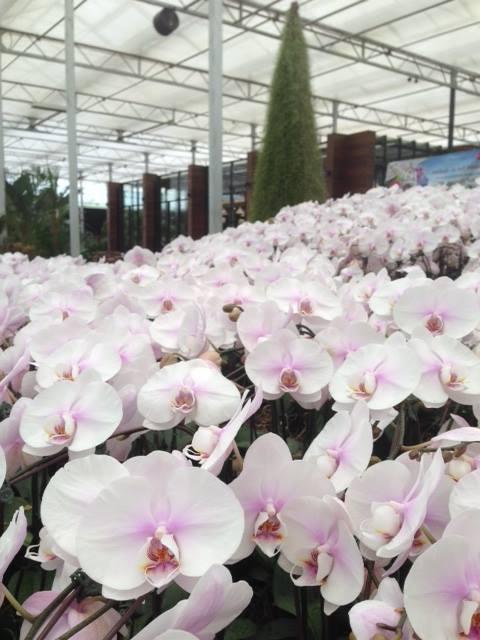 เทศกาลชมสวนดอกไม้ 5 ธันวาคม 2556 - 2 มีนาคม 2557 ณ ดาษดา แกลเลอรี่ บริเวณปากทางขึ้นเขาใหญ่ ฝั่งปราจีนบุรี