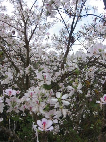 เทศกาลดอกเสี้ยวบานบนภูชี้ฟ้า 13 กุมภาพันธ์ 2557 - 15 กุมภาพันธ์ 2557 ณ ภูชี้ฟ้า จังหวัดเชียงราย
