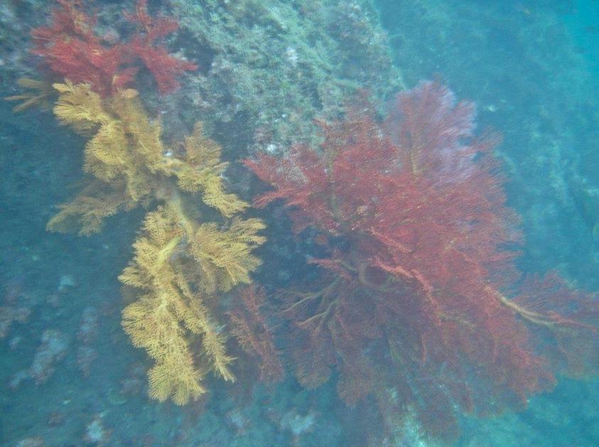 กัลปังหาบริเวณเกาะมุก