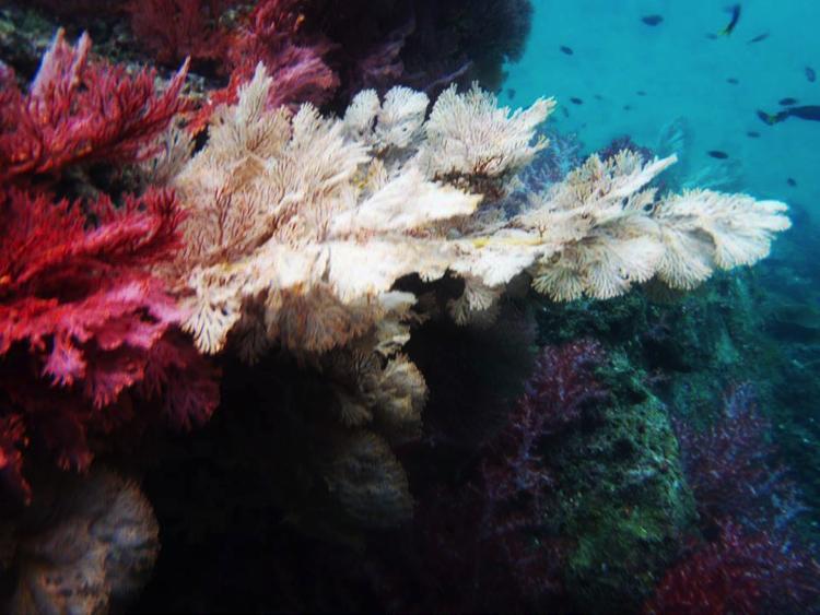 กัลปังหาหลากสีที่เกาะมุก