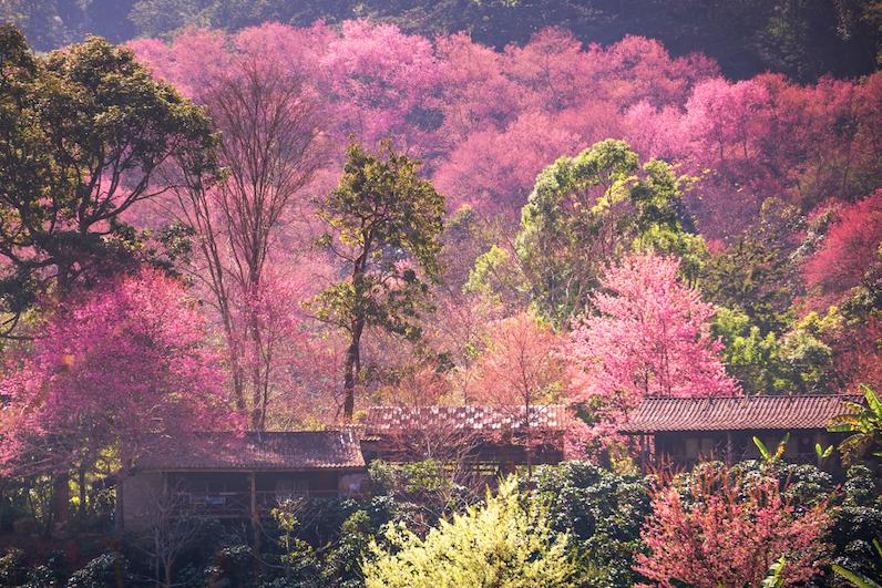 เที่ยวหน้าหนาว ชมดอกนางพญาเสือโคร่ง (ซากุระเมืองไทย) ณ ขุนช่างเคี่ยน จังหวัดเชียงใหม่