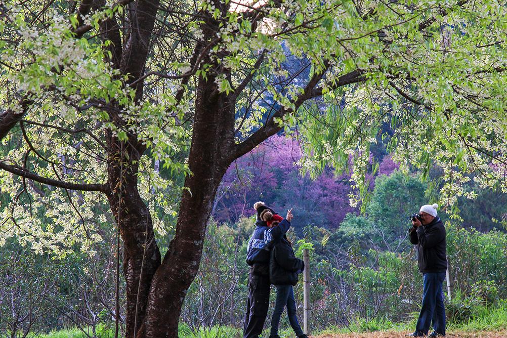 ต้นพญาเสือโคร่งดอกสีขาว ศูนย์วิจัยเกษตรหลวงเชียงใหม่ (ขุนวาง)