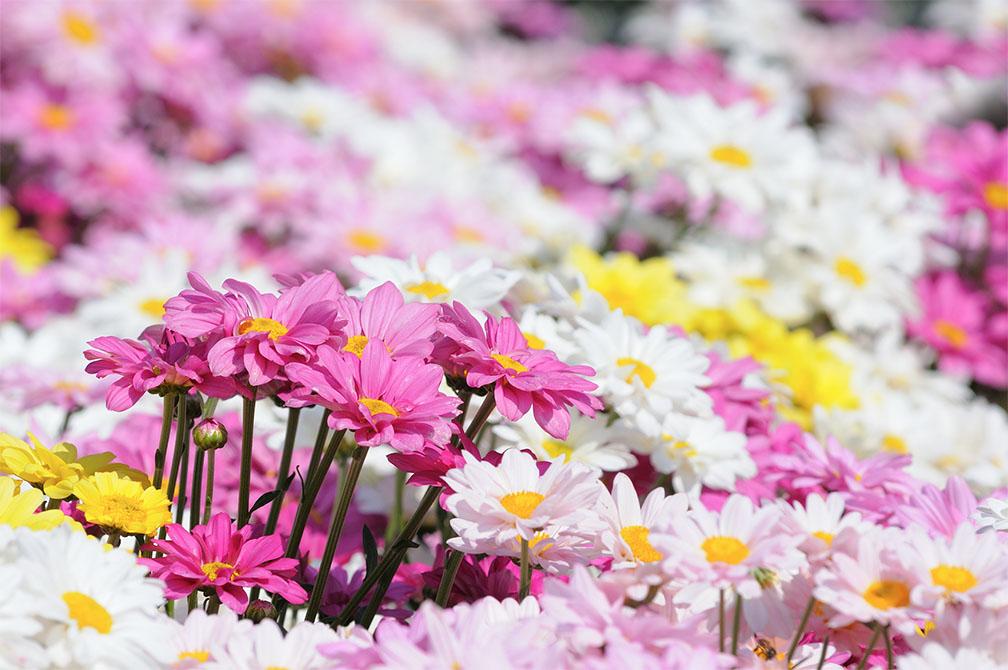 งานมหกรรมดอกไม้เชียงใหม่ ครั้งที่ 43 ประจำปี 2562 จังหวัดเชียงใหม่