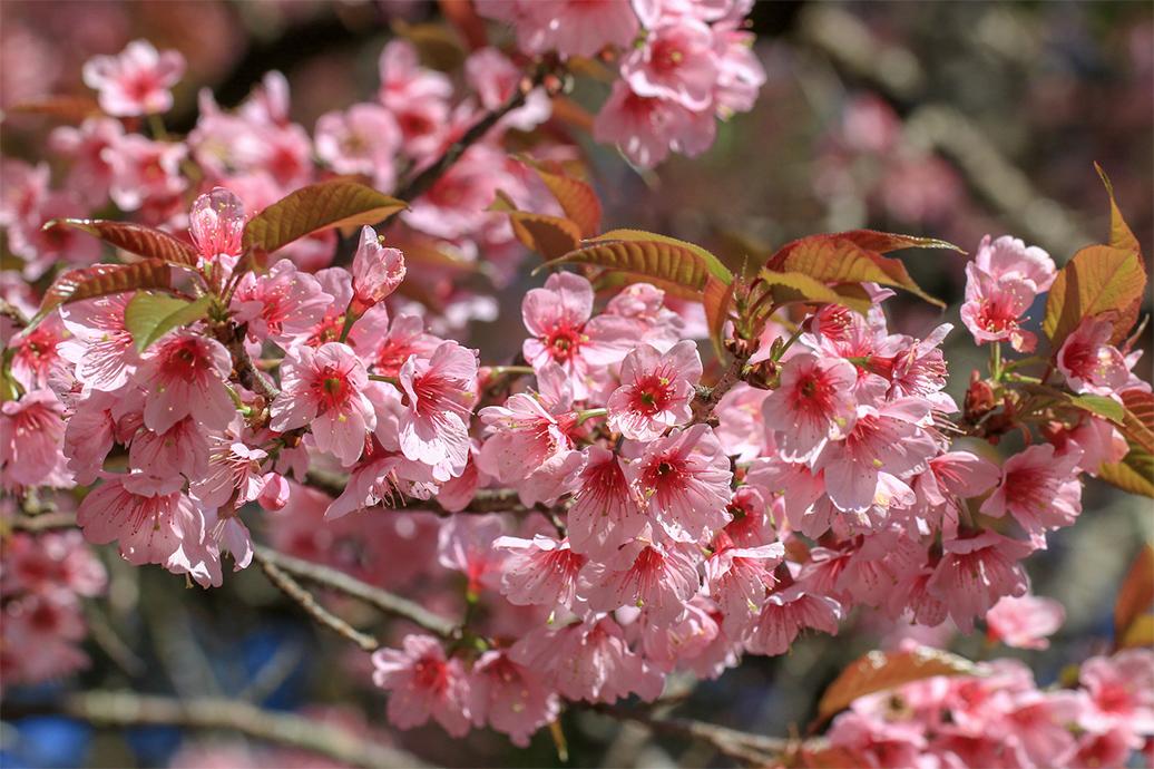 ดอกพญาเสือโคร่งสีชมพู