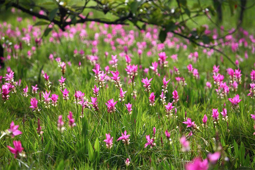 เทศกาลท่องเที่ยวดอกกระเจียวบาน ประจำปี 2562 จังหวัดชัยภูมิ